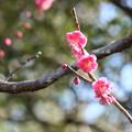 Photos: 中根邸の紅梅