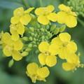 Photos: 菜の花6