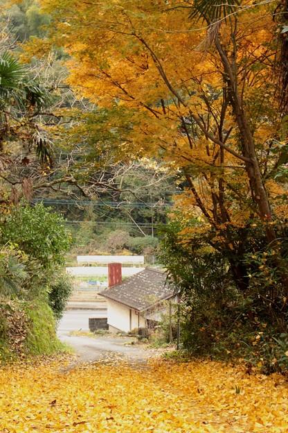 Photos: 坂道のイチョウ2