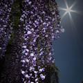 写真: 熊野の長藤-1