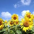 夏空に咲き誇る
