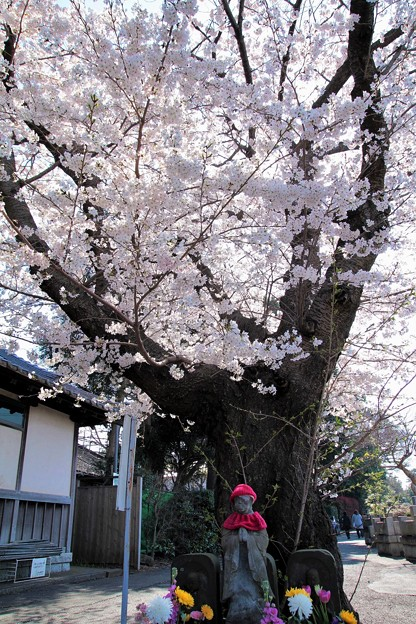 Photos: 桜地蔵