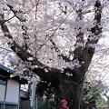 写真: 桜地蔵