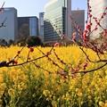 写真: 紅梅と菜の花