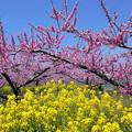 Photos: 桃源郷の春