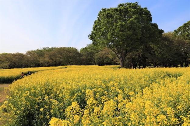 平成最後の菜の花