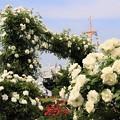 Photos: 白バラと氷川丸