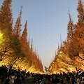 Photos: 神宮銀杏