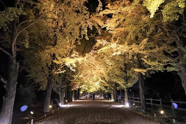 Photos: 銀杏ライトアップ