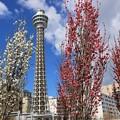 マリンタワーの春