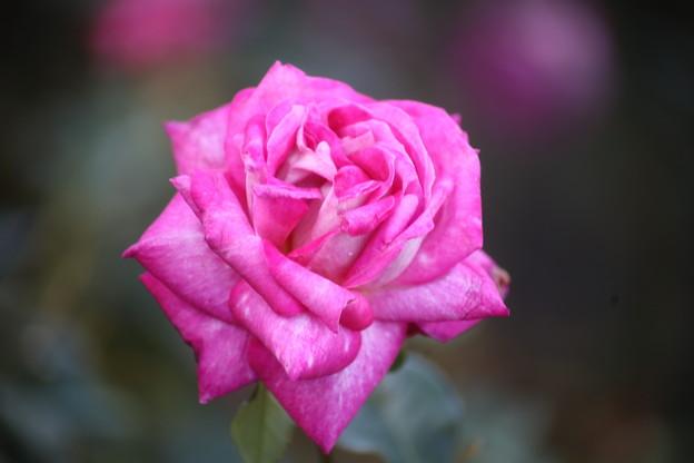 Photos: 10月のバラ