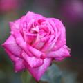10月のバラ