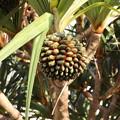 Photos: 熱帯果実