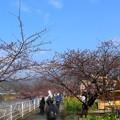 Photos: 早過ぎた河津桜