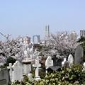 Photos: 外人墓地