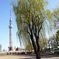 Photos: 柳