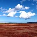 サンゴ草(厚岸草)