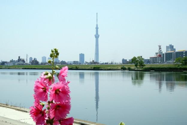 Photos: 荒川河川敷タチアオイ