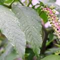 Photos: 梅雨の滴