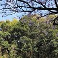 Photos: 桜と木立