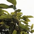 夏の柿の実