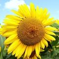 Photos: 太陽の花