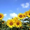 Photos: 夏空に咲く