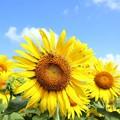 真夏のシンボル