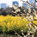 Photos: 菜の花と梅