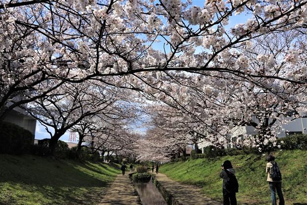 Photos: 桜並木