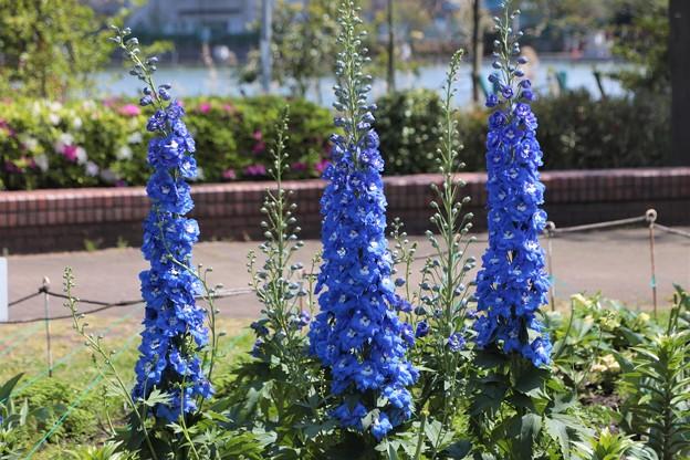 Photos: 鮮やかブルー