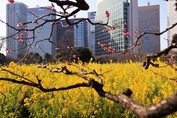Photos: 都心の菜の花と紅梅