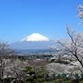 Photos: 桜富士