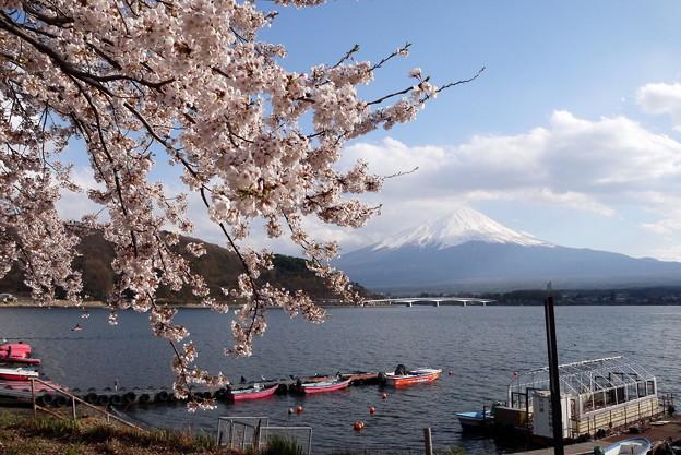 Photos: 河口湖桜