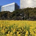 Photos: 都心の菜の花
