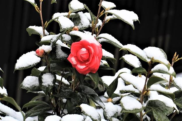 横浜の雪椿