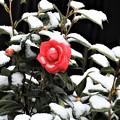 Photos: 横浜の雪椿