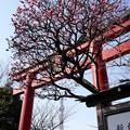 Photos: 亀戸天神梅まつり