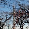 Photos: 隅田公園しだれ梅
