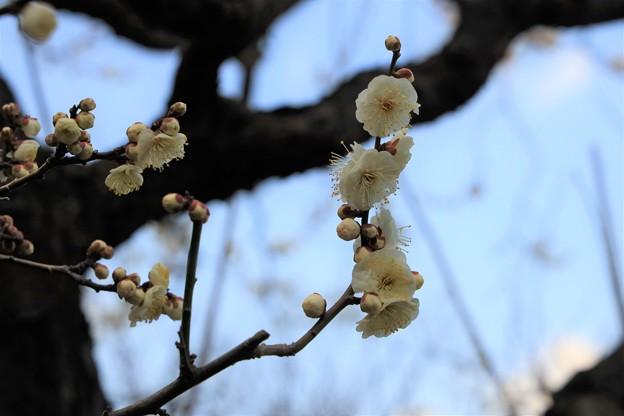 Photos: 立春早咲きの梅