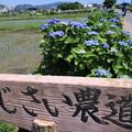 Photos: アジサイ農道