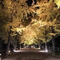 Photos: 銀杏並木