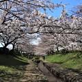 Photos: 桜の散歩道