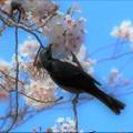 Photos: 桜に憩う