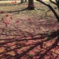 Photos: 桜の絨毯