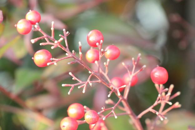 Photos: 紅い実