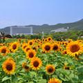 Photos: 夏・大地の虹エリアの花風景
