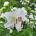 夏の花 ユリ・カサブランカ