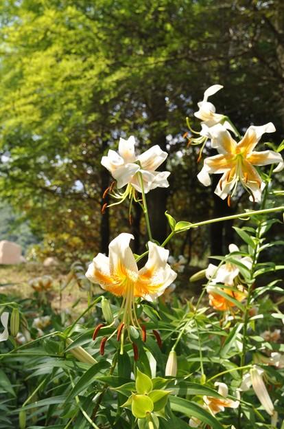 夏の花 ユリ・レディーアリス