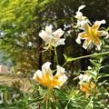 Photos: 夏の花 ユリ・レディーアリス
